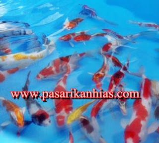 Jual Bibit Ikan Koi Murah Dan Berkualitas