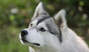 foto cabeza siberian husky gris blanco de perfil