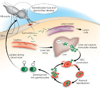 TEXTBOOK : ANOPHELES MOSQUITOES - NEW INSIGHTS INTO MALARIA VECTORS