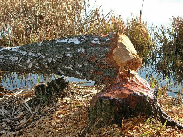bobry, gryzonie, szkody, jeziora