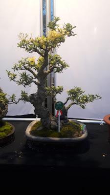 Bonsai Tanaman Bunga Asoka  Langka