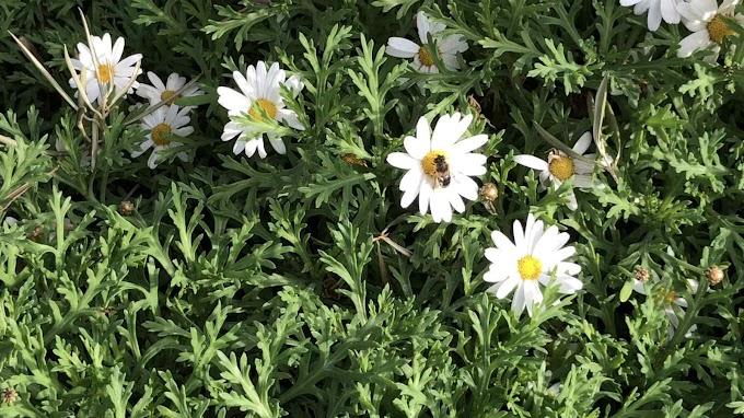 Argyranthemum Frutescens