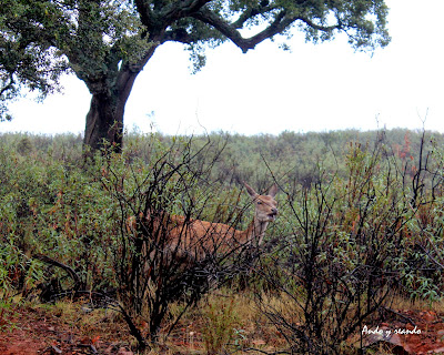 ciervos en Monfragüe