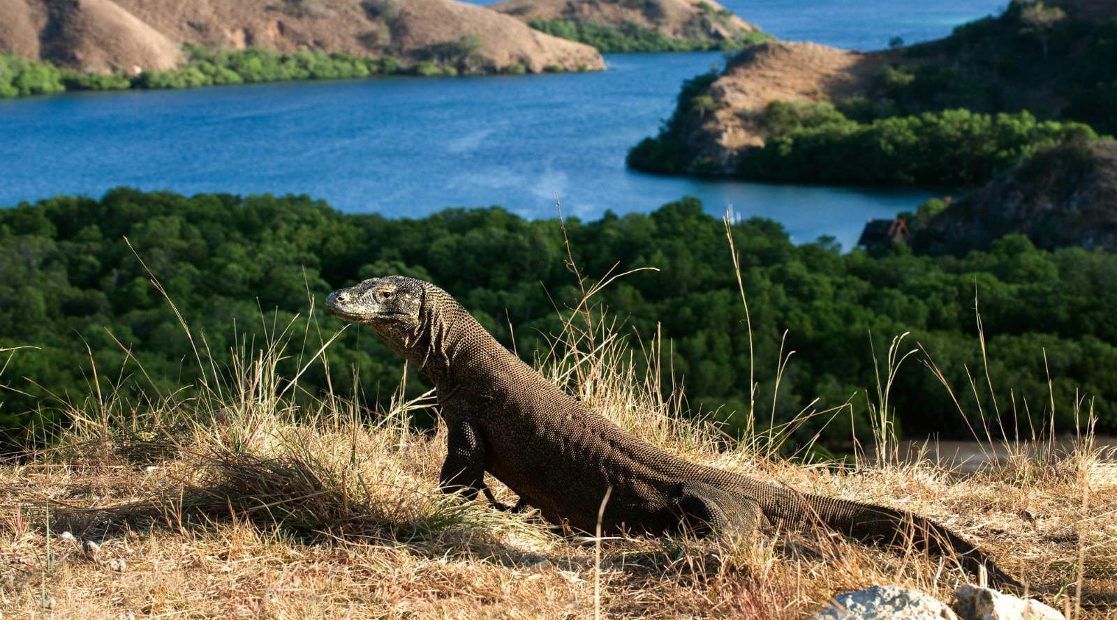 wisata indonesia pulau komodo hewan melata paling besar di dunia