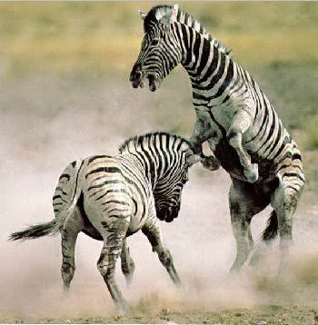 Cute Baby Live Wallpaper Zebra Images Funny Animal