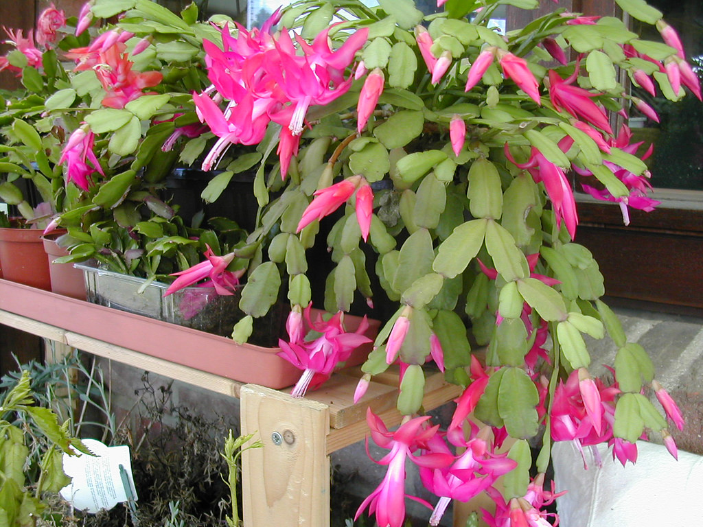 Schlumbergera x Buckley ! Home Decor