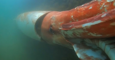 Akinobu Kimura found a giant squid in Japan's coast