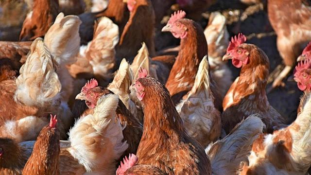 Ανατροπή: «Συμμορία» από κότες σκότωσε αλεπού σε αγρόκτημα στην Βρετάνη