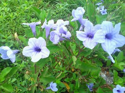 Jasa Tukang taman Surabaya Tanaman hias alamanda ungu