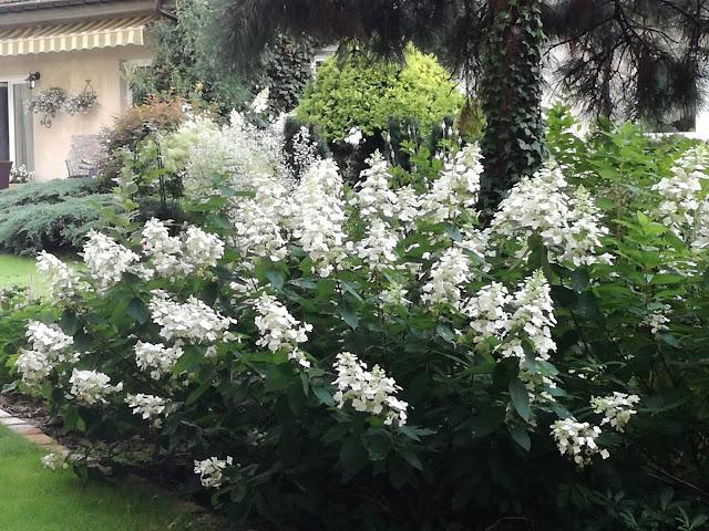 kwitnące krzewy w ogrodzie