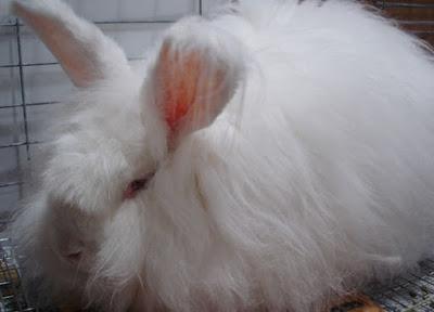 Jenis-jenis kelinci anggora giant