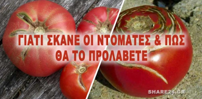 Γιατί οι Ντομάτες Σκάνε και Κάνουν Ρωγμές & Τι να Κάνετε για να το Προλάβετε