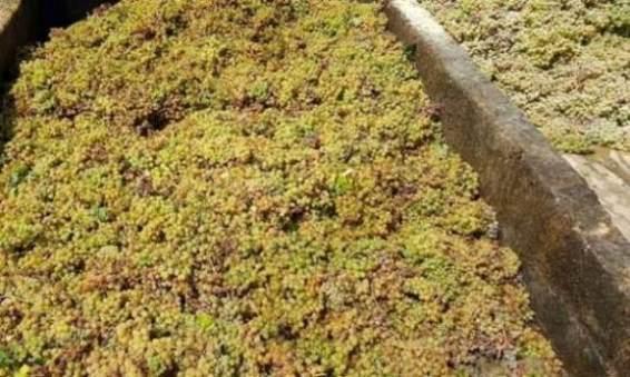 مزارعو العنب العصيري بالسويداء يطالبون بصرف أثمان إنتاجهم