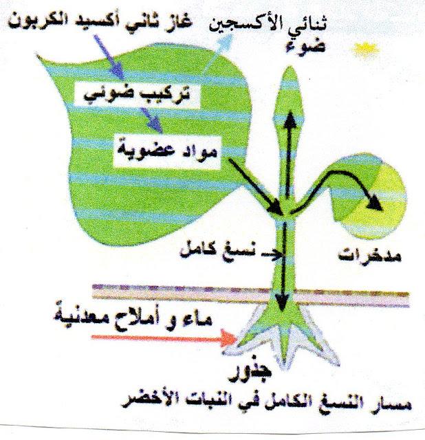 تحضير درس انتقال النسغ عبر اعضاء النبات الاخضر للسنة ...