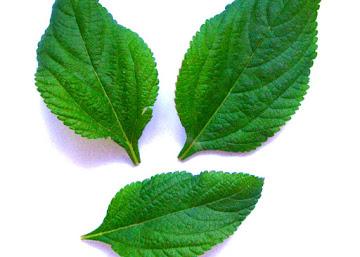 Benefícios da Erva-cidreira brasileira