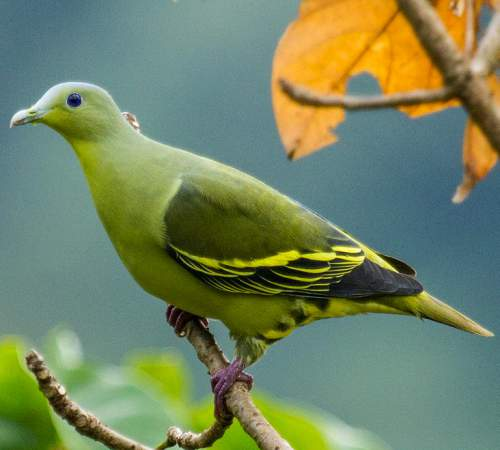 Indian birds - Image of Grey-fronted green pigeon - Treron affinis