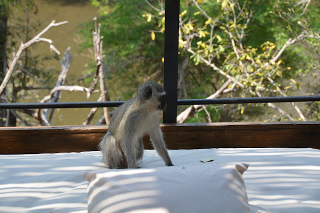 Singita Sweni Africa hotel resort Kruger National Park monkey