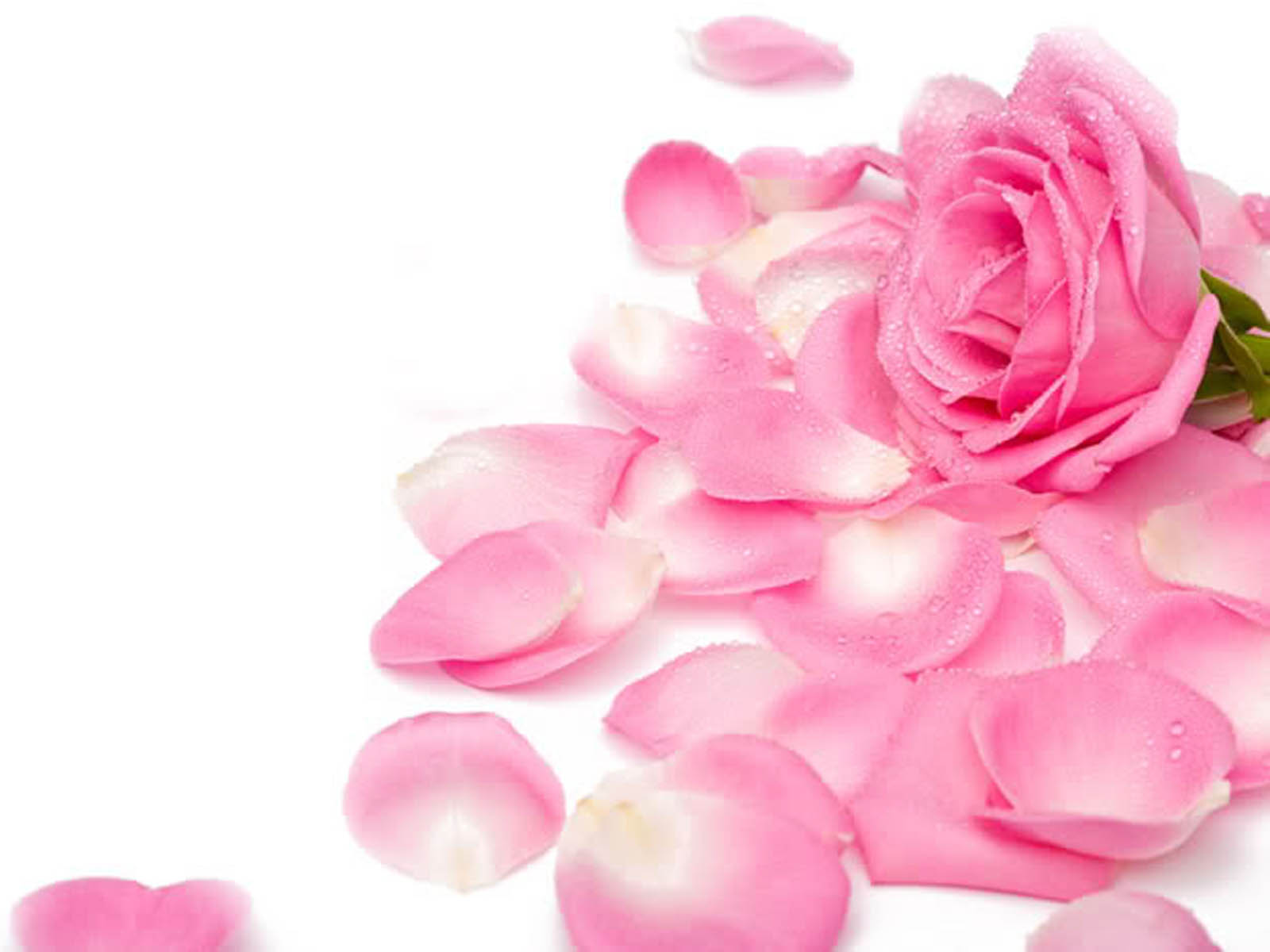 Wallpapers pink rose wallpapers - Pink roses background hd ...