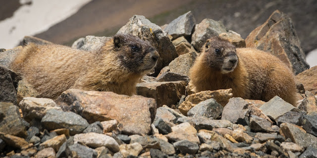 Marmots, Grays Peak