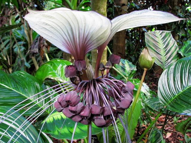 """Flor-morcego - uma planta tropical, de bela folhagem e flores exóticas. Suas flores podem ser nas cores como branca, castanha e preta. Podem chegar aos 12 centímetros de diâmetro, e têm longos """"bigodes"""" que podem crescer até os 20 centímetros de comprimento."""