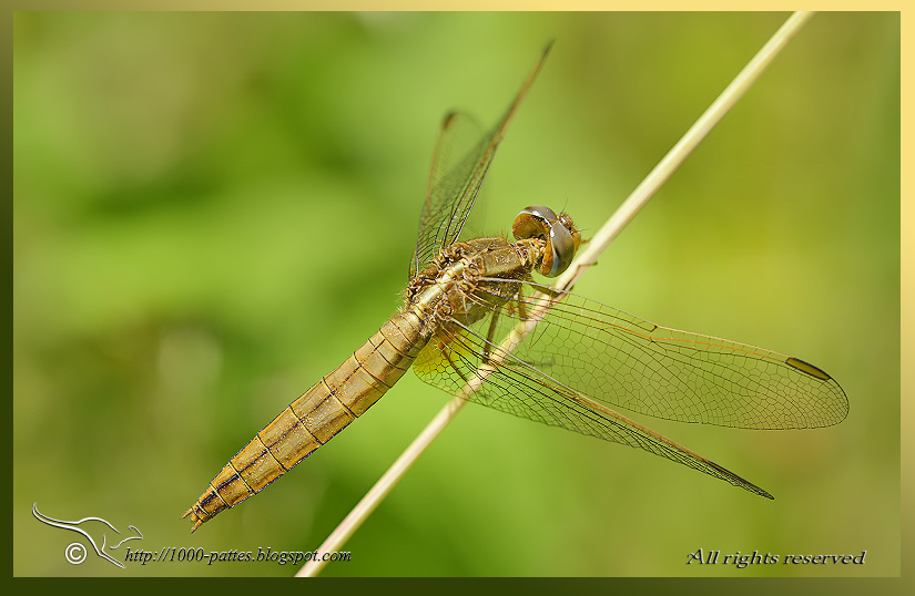 All about Common Scarlet-darter