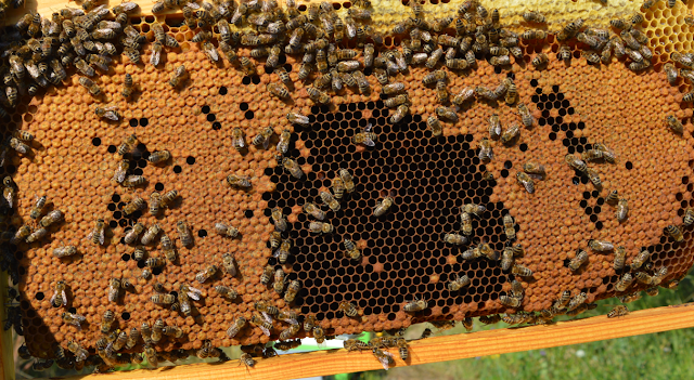 Χώρισμα παραφυάδων τώρα το Καλοκαίρι: Απορίες μελισσοκόμων...