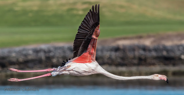 Greater Flamingo - Milnerton Lagoon / Woodbridge Island, Cape Town