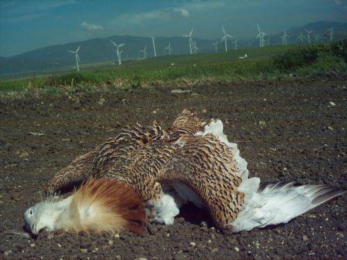 http://blog.lagunalajanda.org/2013/03/17/un-adios-y-un-lamento-a-jorge-la-ultima-avutarda-de-la-janda-muerta-en-un-tendido-electrico-en-abril-de-2006/
