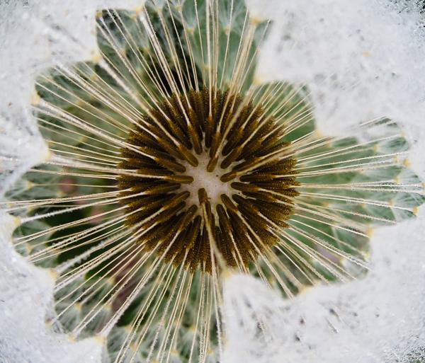 PauMau blogi valokuvaus photography luontokuva luontovalokuvaus nature puutarha kukka makrokuva flower macro macrophtography kevät  kesä voikukka abstrakti abstarct