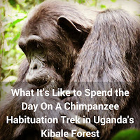 What It's Like to Spend the Day On A Chimpanzee Habituation Trek in Uganda's Kibale Forest