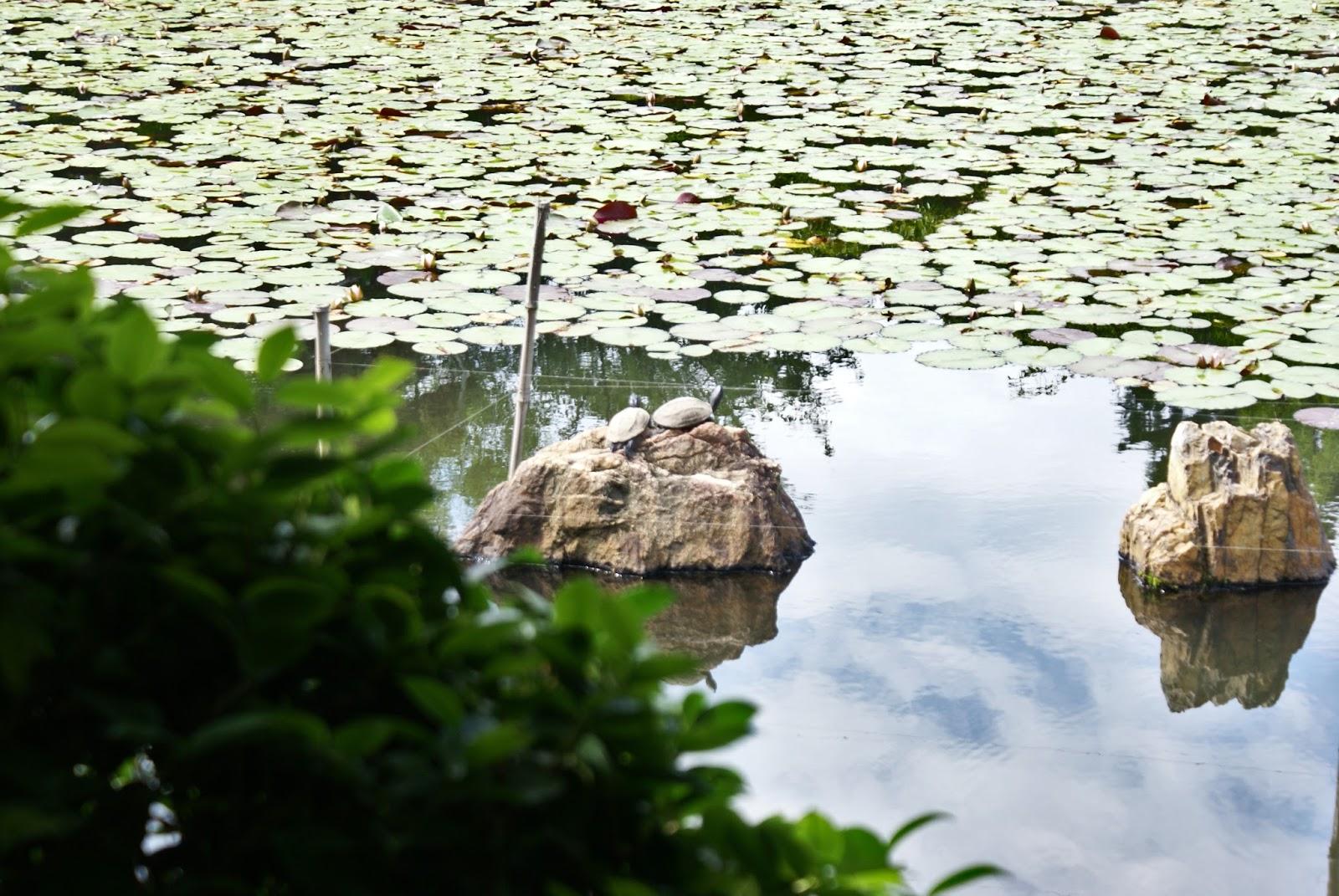 ryoan ji buddhist temple turtles kyoto kansai japan asia