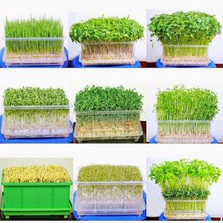 Cách trồng rau mầm sạch bằng bông gòn tại nhà