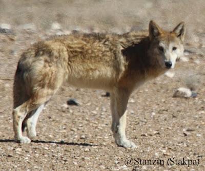 Serigala Tibet (Tibetan wolf)