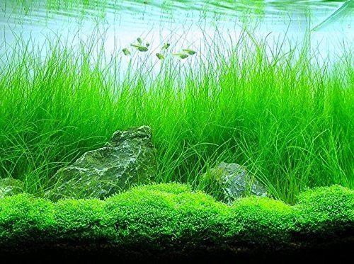 Cara Menanam Dan Merawat Hairgrass Pada Aquascape - Media ...