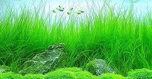Cara Menanam Dan Merawat Hairgrass Pada Aquascape Media Digital