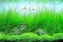 Cara Menanam Dan Merawat Hairgrass Pada Aquascape