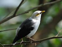 Jenis Burung Langka Yang Terancam Punah, Jalak Tunggir Abu