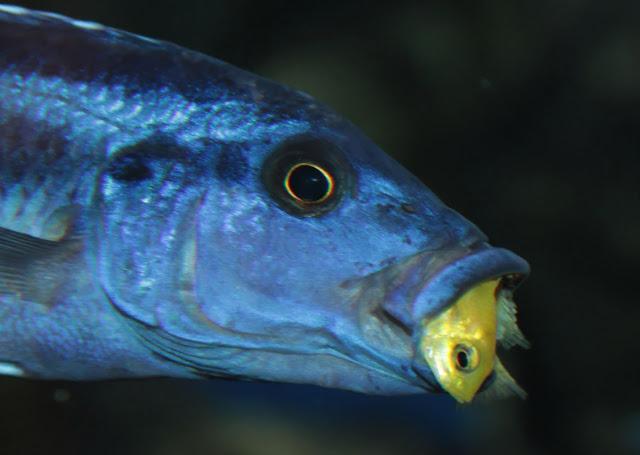 ompressiceps sang predator
