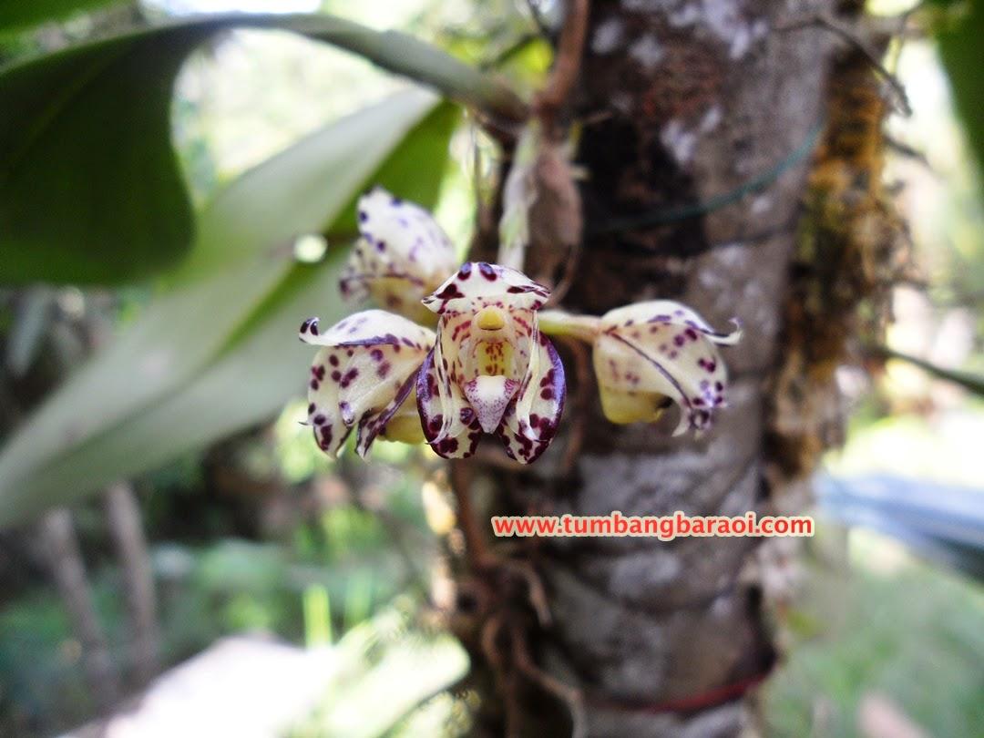 anggrek bulbophyllum endemik kalimantan
