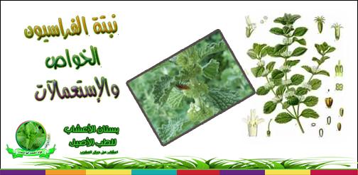 تعرف على عشبة الفراسيون أو(مريوت باللهجة المغربية)