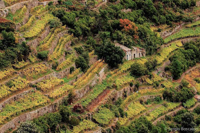 Cinque Terre terraces with vines