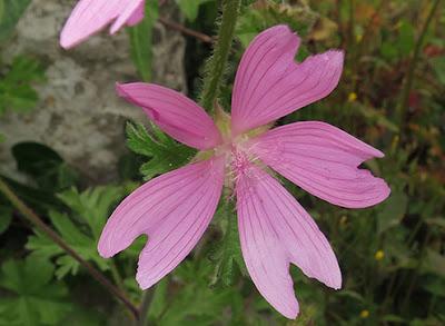 Flor rosa de malva moscada o moschata