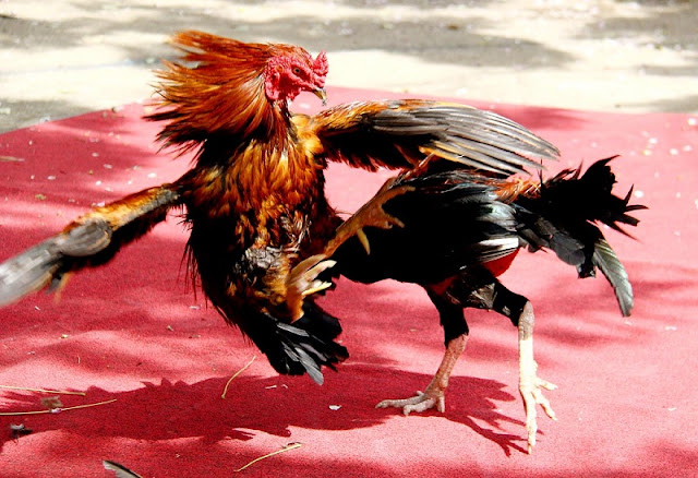Chicken fight in Vietnam 1