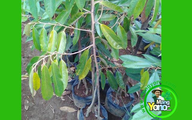 Bibit Durian Musangking Kaki Tiga -  2 Tahun Berbuah
