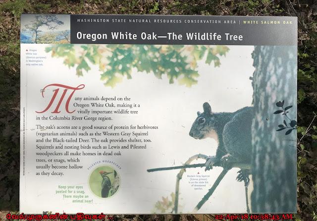 Oregon Wild Oak - The Wildlife Tree