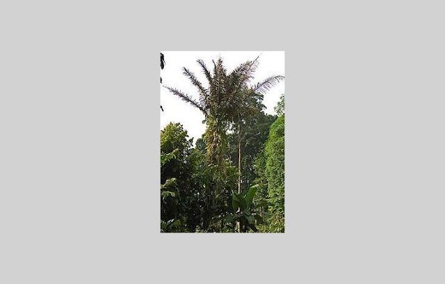Enau (Arenga pinnata)