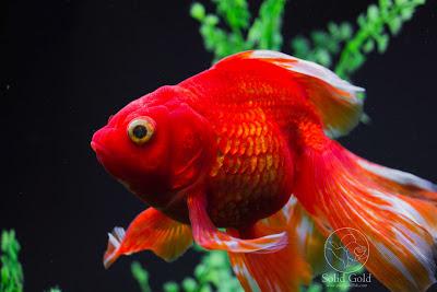 red goldfish ile ilgili görsel sonucu
