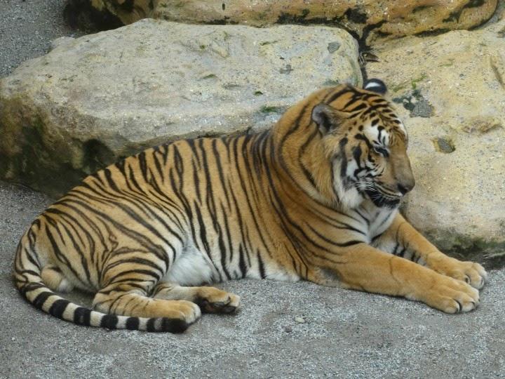 Tigre de Bengala, no Beto Carrero World