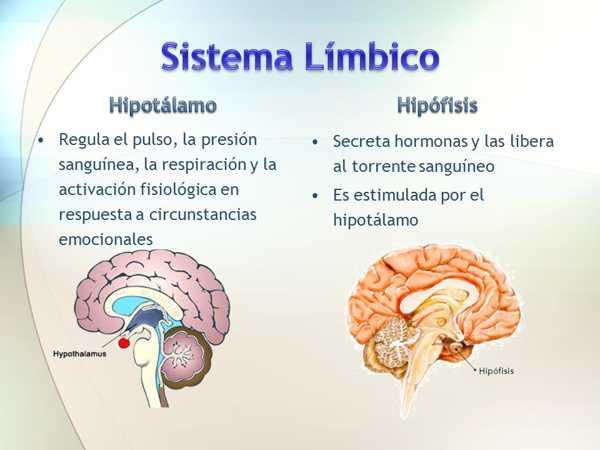 El Sistema Límbico Integración Emocional Y Motivacional