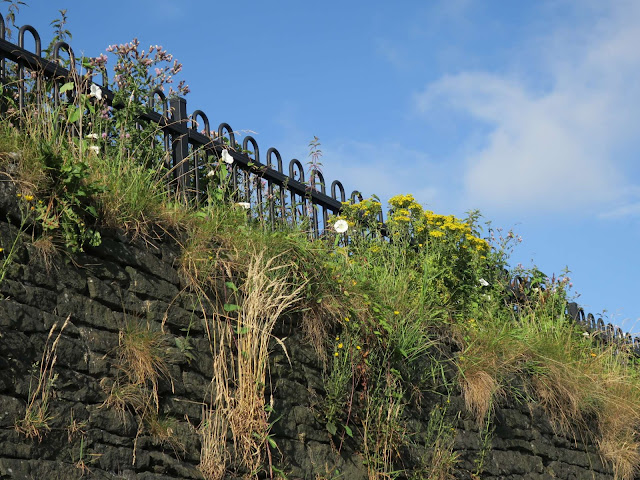 Ragwort and convolvulus in front of railings on a high stone wall.